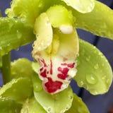 Орхидея на дождливый день Стоковая Фотография RF