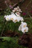Орхидея на предпосылке Стоковые Изображения RF
