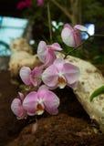 Орхидея на предпосылке Стоковые Изображения