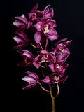 Орхидея на черной предпосылке Стоковые Фото