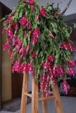 Орхидея ноги краба Стоковые Изображения