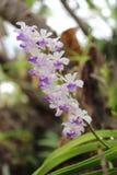 орхидея одичалая Стоковое Изображение