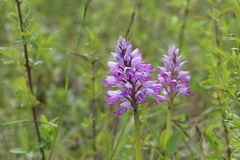 орхидея одичалая Стоковые Фотографии RF