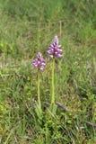 орхидея одичалая Стоковая Фотография