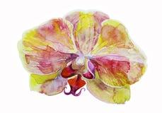 Орхидея первоначально акварели розовая и желтая на белой предпосылке Стоковые Изображения RF