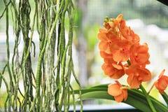 Орхидея покрашенная апельсином тропическая Стоковое Фото