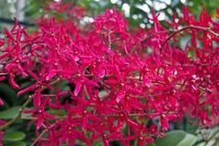 Орхидея покрашенная красным цветом тропическая Стоковое Фото