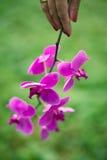 Орхидея под рукой Стоковая Фотография
