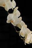 орхидея предпосылки черная Стоковые Фотографии RF