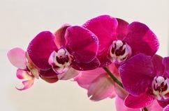 орхидея пурпура крупного плана Стоковые Фотографии RF