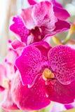 орхидея розовый vanda Стоковые Изображения
