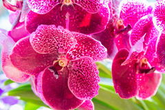 орхидея розовый vanda Стоковые Фотографии RF