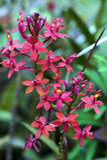 Орхидея рода Epidendrum возникая от Америк Стоковые Фотографии RF
