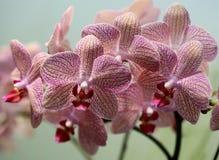 Орхидея сумеречницы Стоковые Изображения