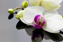 Орхидея с отражением Стоковое Фото