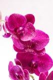 Орхидея с падениями воды на белой предпосылке Стоковое Изображение RF