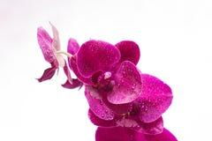 Орхидея с падениями воды на белой предпосылке Стоковая Фотография RF