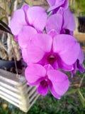 Орхидея Таиланд Стоковое Изображение