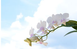 орхидея тайская Стоковые Изображения RF