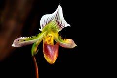 Орхидея тапочки дамы (Paphiopedilum) Стоковые Фото