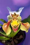Орхидея тапочки дамы   Стоковые Изображения