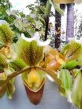 Орхидея тапочки Стоковые Фото