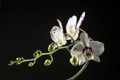 Орхидея фаленопсиса стоковые фотографии rf
