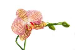 Орхидея, фаленопсис, цветок стоковые изображения rf