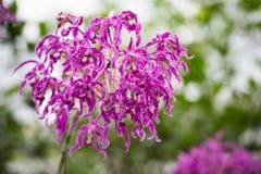 Орхидея фейерверков Стоковые Изображения RF