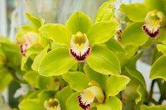 Орхидея цветет ceae ¡ Orchidà зеленая орхидея Стоковые Изображения