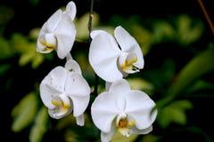 орхидея цветков предпосылки близкая вверх по белизне Стоковое Изображение RF