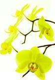 Орхидея 3 стоковое изображение