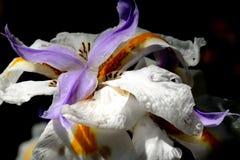 1 орхидея Стоковая Фотография