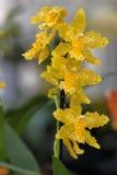 Орхидея Стоковое Изображение RF