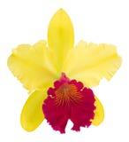 Орхидея Cattleya изолированная на белой предпосылке Стоковое Изображение