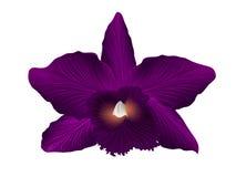 Орхидея Cattleya на белой предпосылке Стоковая Фотография RF