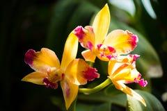Орхидея Cattlianthe Стоковое Изображение