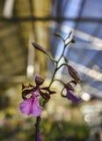 Орхидея cordigera Encyclia Стоковые Фото