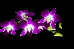 Орхидея Dendrobium красоты фиолетовая Стоковое фото RF