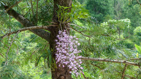 Орхидея Dendrobium с пуком полного цветения цветка стоковые фотографии rf