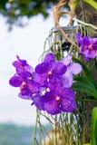Орхидея Dendrobium Стоковые Фотографии RF