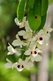 Орхидея Dendrobium Стоковая Фотография RF