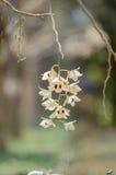 Орхидея Dendrobium Стоковое Фото