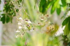 Орхидея Dendrobium Стоковые Изображения RF