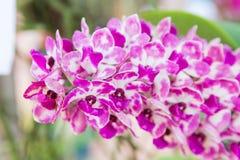 Орхидея gigantea Rhynchostylis Стоковые Изображения