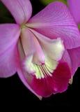 Орхидея Laeliocattleya Стоковые Изображения RF