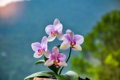 Орхидея Phalaeneopsis с полным цветением Стоковые Изображения RF