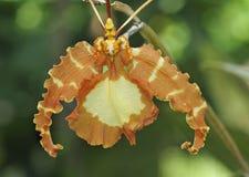 Орхидея Psychopsis бабочки Стоковые Фотографии RF