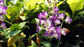 Орхидные gigantea rhynchostylis plantae орхидеи Стоковые Изображения
