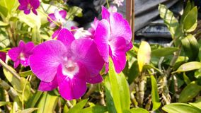 Орхидные gigantea rhynchostylis plantae орхидеи Стоковая Фотография RF